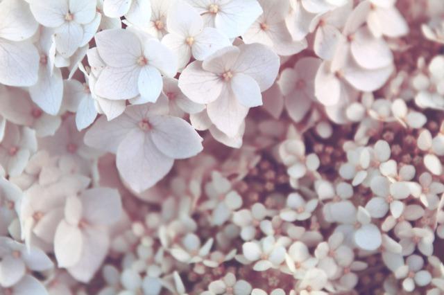 ハーバリウムにおすすめの花材:あじさい