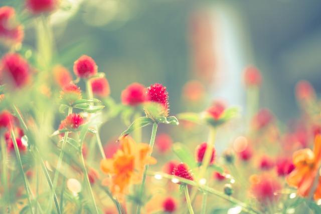 ハーバリウムにおすすめの花材:千日草