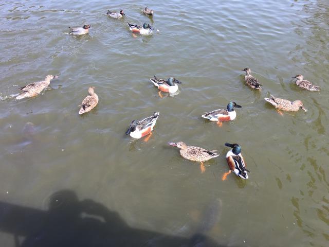 千葉県成田市坂田ヶ池総合公園の池、カモもいっぱい